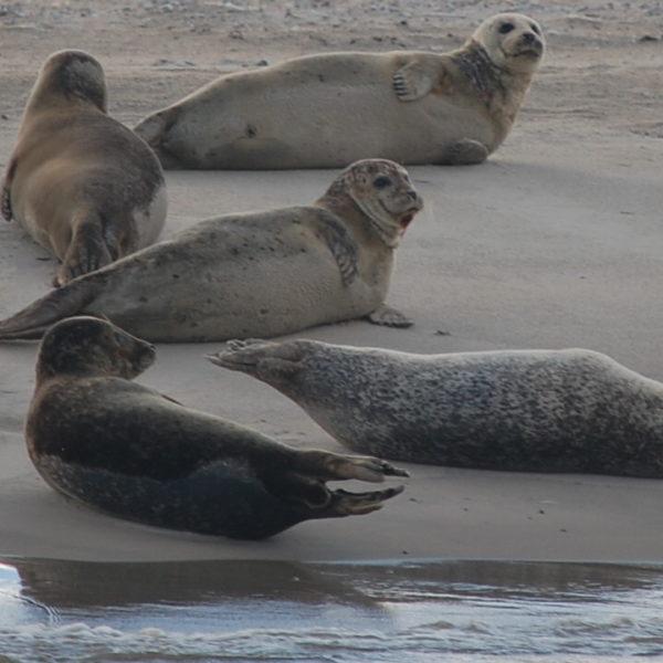 Zeehonden op zandbank Wadden @Gouden Vloot Zeilreizen