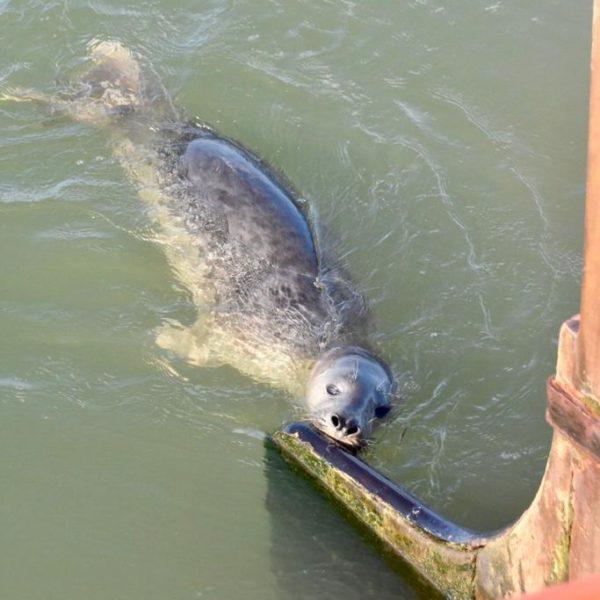 Seal Wad am Ruder @ Goldene Flotte Segeltörns