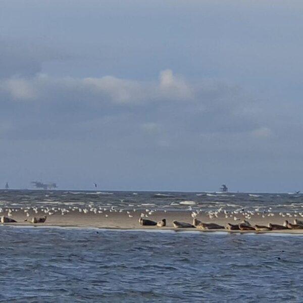 Zeehonden op zandbank@Gouden Vloot zeilreizen
