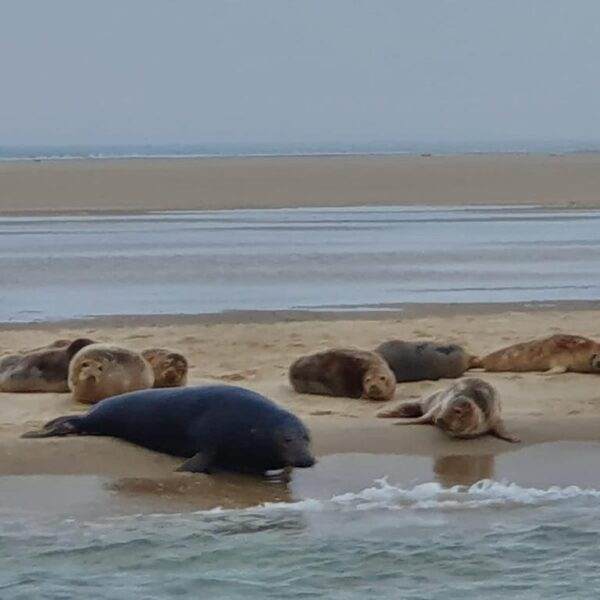 Zeehonden op zandplaat@Gouden Vloot Winterzeilen